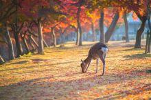日本的秋天,因精致而绚烂。从9月起,红叶从北向南,沿着与樱花相反的方向红遍整个国家,静雅别致却更显禅