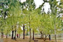 阳山百亩银杏林 在银杏叶上寻找秋天 都说广东没有秋天,四季里少了一片金黄。 高山温差+秋风一吹拂,林