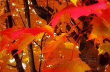 温哥华经典的秋色,各种色彩的燃烧,铺天盖地无处不在的震撼,卓尔不凡,即便寻常巷陌也有浓烈的秋色。不经