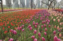每年四月份去刘家峡看美丽的郁金香