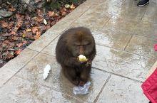 """碰到可遇而不可求的峨眉山猕猴,以及严厉的""""猴管""""。"""