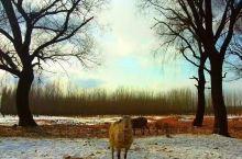 枯草老树羊群,蓝天白雪牧童,美的不可描述。我的故乡寿光,也有一处被人遗忘之地,可以流连忘返。弥水从这
