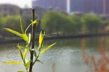 春暖花开,春天到了,柳树发芽了