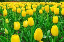 郁金香属长日照花卉,性喜向阳、避风,冬季温暖湿润,夏季凉爽干燥的气候。8℃以上即可正常生长,一般可耐