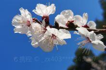 娇艳的天坛杏花