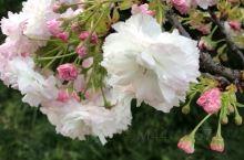 樱花开的好漂亮呀