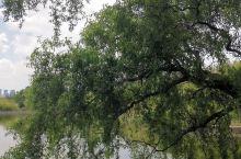 难得一见的柳树,粗壮的树杆分成了几岔,抓人眼球,瞬间感受到了岁月沧桑,映入脑中的是它有几多年纪?可以