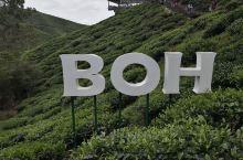 马来西亚金马仑BOH茶园