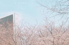 魔都樱花打卡  美美的樱花季,居然在上海虹口区鲁迅公园绽放,一出虹口足球场地铁站就能看到一片片的樱花