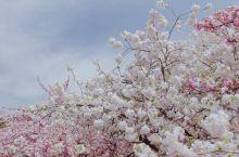 春日里的青龙寺,阳光和煦,微风不燥。樱花开的正盛,置身其中,整个世界都突然变得美好起来。 TIPS: