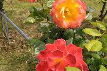 白河是汉水的分支,她可以说是南阳人的母亲河。而月季是南阳的市花,月季花是中国玫瑰花,而南阳人研发种植