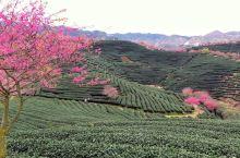 樱花茶园,另一种角度赏樱花。永福樱花园位于福建龙岩的漳平永福镇,永福樱花园的平均海拔780米,因为山