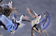 平山外大河乡苍鹭峰,小鸟会飞了!开始练翅了!可爱的精灵成了太行的风景!