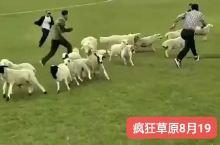[疯狂草原]呼伦贝尔人羊大战