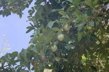 弥勒小镇,百香果树,菩提树,红酒温泉。适合养生的宜居小镇。
