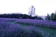 【超小众外景地】天津超小众的薰衣草田!非常大!里面有很多地方都有路应该是专门给大家拍照用的,可惜去拍
