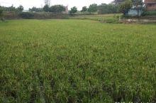第二季水稻,希望的田野上!