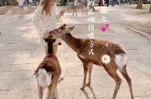 小鹿的王国奈良(附交通路线截图) 说到奈良,第一反应就是小鹿了吧这里是个被鹿包围的城市,马路上都会有