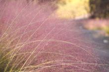 鹿溪河生态公园看惊艳了整个秋天的粉黛乱子草,但当你漫步其中,欣赏粉黛带给你的秋日惊喜。 关于鹿溪河生