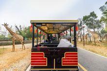 在龙之梦动物世界,你可以用步行、自驾或乘坐小火车几种方式游览,近距离接触各种野生动物。被长颈鹿和斑马