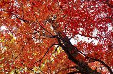 """本溪,一到秋天,因为有红叶,因为那条斑澜多彩的""""中华枫叶大道"""",吸引着我想知道是不是真的如网络上宣传"""