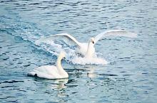滑翔降落瞬间 每到寒风飘雪时节,成群结队的天鹅就来到荣成烟墩角,在碧波荡漾的海湾里,或自在游弋,或追