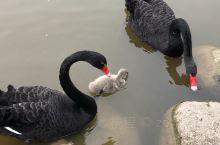 有人知道,这是两只黑天鹅的小宝贝吗?