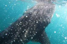 菲律宾薄荷岛鲸鲨