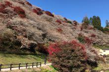 见川药师寺。秋樱与红枫满山岗。