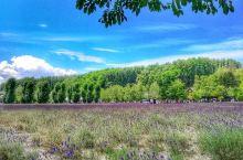 日本北海道,富良野农场的薰衣草花海,每年七月下旬至八月上旬,紫花盛开,煞是靓丽…