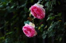 蔷薇花盛开