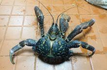 长相怪异的椰子蟹,你敢吃吗  斐济之行,最爽的就是吃海鲜,吃到了传说中的椰子蟹(图照片是去厨房给我们