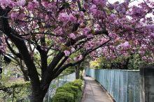 #鲜花为谁盛开? 樱花盛开的小路,却无一游人。 感觉一人在独占着这美丽的世界。  拍摄于东京都府中市