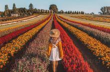 仅30天沉浸墨尔本赏天堂般的郁金香花海 最近的墨尔本开始进入春天啦~春暖花开的时候当然要多看点鲜艳的