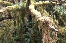 霍尔雨林是难得的温带雨林的代表。树枝上的寄生植物,和树下的桫椤等,将美丽的树林打扮的与众不同。这里降