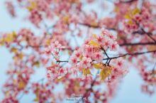 作为无锡当地土著,生活在这个城市表示很幸福,三月是无锡最美的季节,全城樱花盛开,美不胜收; 今天特意