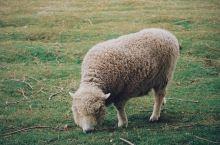 周末农场风 和小绵羊的日常