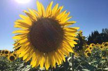 梵高笔下、瓦伦索高原上的向日葵,向阳的花海、绚丽绽放!  生如夏花,始终是我,心之向往!  享受生活