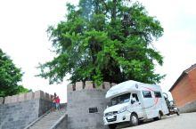 世人大多对腾冲江东银杏村的漫天金黄了然于目,但对腾冲1600多岁的古银杏王却知之甚少。 古银杏王生长