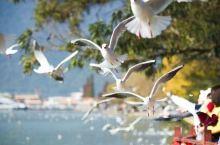 冬天,来滇池喂海鸥吧!每年冬天,来自西伯利亚的候鸟红嘴海鸥都会随着季节的变化来到滇池过冬,来年春天离