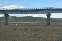 追寻藏羚羊的脚步