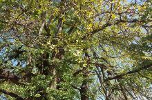 10月18号的银杏树,银杏叶子还没有黄,村子不大,很安静。
