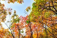被誉为华北最壮观山地红叶景观的北京市房山区坡峰岭,已进入最佳赏景期。整座幽岚山谷,将被高大茂盛的黄栌