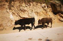 可可托海偶遇牛群,近距离走在同一条马路上,很奇妙
