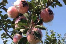 树上长满了带字的苹果!山西运城红富士