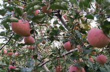 ……秋色绚烂,苹果飘香……  亚洲第一高山果园,灵宝寺河山苹果已到成熟期,