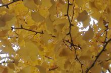 永济柳园银杏树