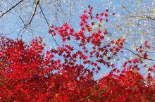 火红的枫叶点缀着秋天,四季樱花更加增添了浓郁的秋色