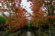 北方也是大雨纷飞,云贵高原的秋天才如期而至,打卡兴义人民的后花园,路上火红的枫叶是拍美景的好地方。大