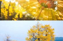 【银杏海洋,被忽略的取景圣地】 桂林银杏海洋,一个被桂林游客忽略的取景圣地,今天要为它平反一下 许多